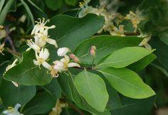 Lonicera tatarica Shrubs, Vines, Plant Leaves, Plants, Vegetable Garden, Flowers, Shrub, Plant, Arbors