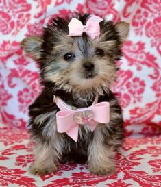 teacup  #morkie #dogs #cute