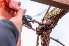 Ako a kedy rezať vinič? Nie je to až také zložité, ako by sa mohlo zdať | Záhrada.sk Grape Vines, Vineyard Vines, Vines
