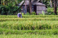 Trabajador en el campo de arroz Bali. .................................................................................  Podéis seguir mis hashtags #sergiobejar o #vidacallejerafotos ------------------------------------------------------------------------------  #indonesia #Bali #travel #traveling #vacation #instatravel #trip #holiday #fun #mytravelgram #travelAwesome  #igtravel #yourshotphotographer #tourism #instapassport