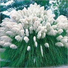 Cortaderia Selloana white / Herbe de la Pampa (Lot de 10 graines)
