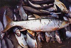 Fisch: Aaptosyax grypus (Aaptosyax grypus) | Fischlexikon Fish Art, Zine, Carp Fishing, Types Of Fish
