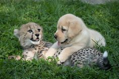 This Puppy And Cheetah Cub Are Going To Grow Up Together