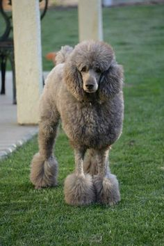 I was born with grey hair and don't ask how old I AM AGAIN!!!--my gray poodle looks nothing like this