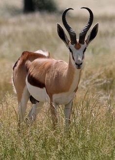 Springbok, African savanna, similar to our Pronghorn Antelope. Fast and elusive they bound away from danger like a deer on steroids, amazing leaders. Notice the ruff over the hind legs, very distinctive. Animals With Horns, Animals And Pets, Cute Animals, Strange Animals, African Antelope, Deer Photos, Mundo Animal, African Animals, Animals Of The World
