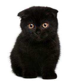 Scottish fold kitten :)