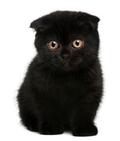 Scottish fold kitten :)