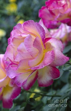 yellow roses with pink tinge