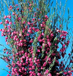 Boronia heterophylla, hot pink bells are intensely, pungently, herbally fragrant. A little bit really provides the color jolt needed to create vibrancy.