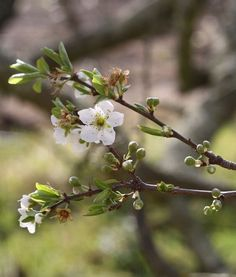 Cherry blossoms bloomed this year First Day Of Spring, Spring Day, Spring Green, Early Spring, Spring Nature, Courage Dear Heart, Spring Images, Vernal Equinox, Spring Awakening