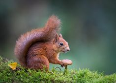 Red squirrel by Trond Westby on 500px