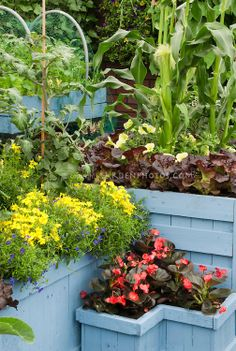 Corn, lettuce, tomatoes, vegetables interplanted edible landscaping with flowers such as marigolds, begonia, lobelia, petunias