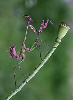 Mantis religiosa morada My spirit insect. Cool Insects, Bugs And Insects, Beautiful Creatures, Animals Beautiful, Cute Animals, Baby Animals, Wild Animals Pictures, Animal Pictures, Beautiful Bugs