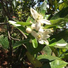 Lemon flower
