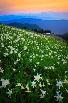 Avalanche lilies along Hurricane Ridge in Washington state's Olympic National Park.