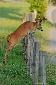 Buck Jumping Fence, Cades Cove ©2012 Charlie Choc
