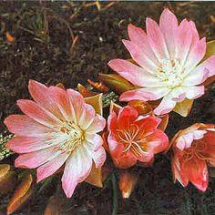 Montana State Flower: Bitterroot