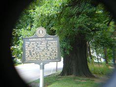 Sasafrass Tree in Owensboro Kentucky