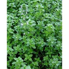 """English Thyme Plant– Two (2) Live Plants – Not Seeds –Each 4""""-7"""" Tall - In 3.5"""" Pots"""