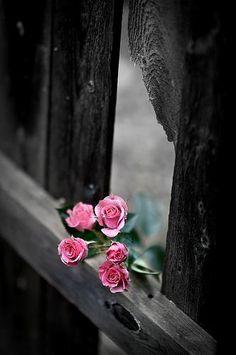 ~ ღ Skuwandi ~ Roses ~ #Roses # ღ Skuwandi