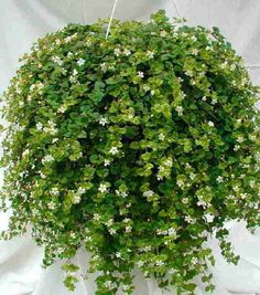 Image detail for -common name bacopa scientific name sutera corda plant characteristics ...