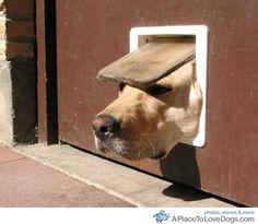 Only a Labrador!