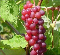 Organic Candice Grape Certified 10 Seeds 32023 Item UPC637632549067