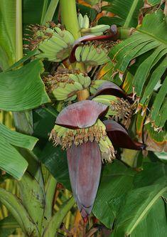 Musa acuminata - Banana, Edible Banana - Hawaiian Plants and Tropical Flowers