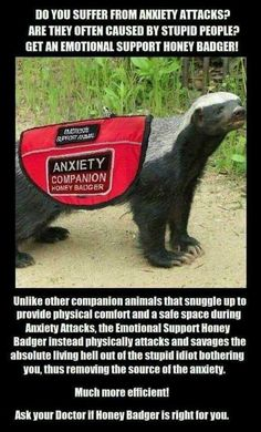 """random pics - emotional support honey badger - Do You Suffer From Anxiety Attacks"""" Are They Often Caused By Stupid People? Get An Emotional Support Honey Badger! Budu Sprontawow Anxiety Companion Honey Badger Un other companion animals that snuggle up to Funny Shit, Haha Funny, Funny Cute, Funny Jokes, Hilarious, Funny Stuff, Funny Captions, Funny As Hell, Funny Animal Memes"""