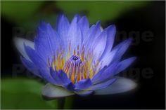 Poster Seerose Nymphaea caerulea - Blauer Lotus