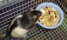 There are many diets for rats on the market, but you may want to vary your pet's diet with something homemade.