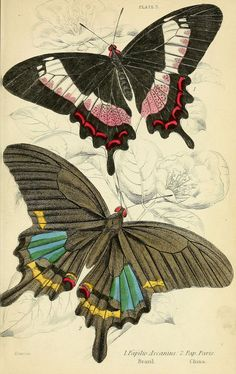 Foreign butterflies Edinburgh :Henry G. Bohn,1858. biodiversitylibrary.org/page/30564648