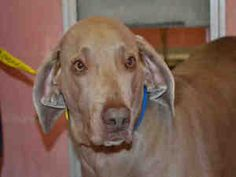 CLYDE is an adoptable Weimaraner Dog in Fort Lauderdale, FL.  ...