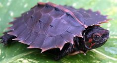 Spiny Turtle - BachPad (2)