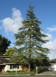 A popular, larger Evergreen, Cedar Trees from The Tree Center are guaranteed quality and ship for free.