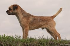 My young borderterrier male Gainsay Jang