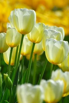 Tulipanes amarillos | Yellow tulips - #flores #flowers