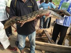 Super Giant Polypterus sp (Bichir)