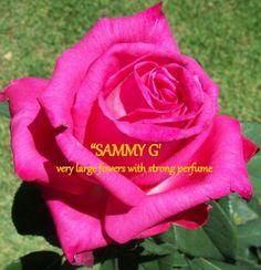 heat lover roses australia - All For Garden Flower Backgrounds, Land Scaping, Beautiful Roses, Lovers, Australia, Yard, Plants, Gardens, Tea