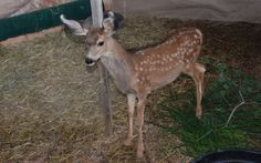 August 2013 mule deer doe fawn 2 months old. Leg is finally improving from the injury she sustained a 2 days of age from being caught in a fence.