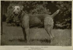 1905 Airedale Terrier, Terriers, Large Dog Breeds, Yorkshire Dales, Vintage Dog, Dogs, Animals, Master Key, 1980s