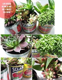 "Pinecone: succulents in upcycled cans. Wow... this brings back memories. Back in the 70s when the First round of ""Go Green, Save the Planet"" was in full bloom, I did this with Herbs!!! I think I'll do it again for the 2nd round of ""Go Green""!     Grab a can... poke a few Holes in the bottom, add a layer of Rock or drainage... load with appropriate soil for the plant. Love It. :)"