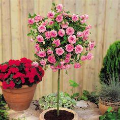 krzewy ozdobne szczepione na pniu - róże pienne