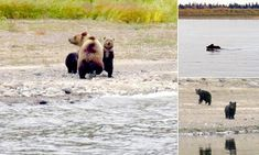 This is the heartbreaking moment a mother brown bear leaves her cubs to make their own way in the world by abandoning them in the Central Siberian Nature Reserve by the Yenisei River.