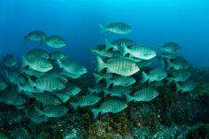 There are various types of fish species. Nonetheless, the most popular include mackerels and sardines.