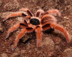 Colombian Giant Red-Leg Tarantula