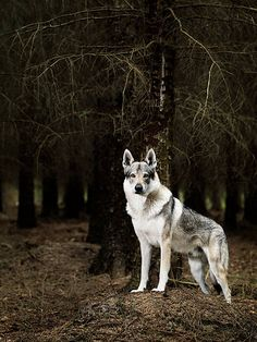 It's a wolf dog. A dog that looks like a wolf. It's a pretty new breed, probably created by fantasy literature fans who knew that the world would one day demand dogs that look like direwolves.