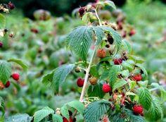 Cum împiedicăm viespile să vandalizeze via și livada Fruit, Nature, Medicine, Diet, Plant, Varicose Veins, Naturaleza, Nature Illustration, Off Grid