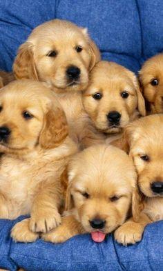 Golden Retriever puppies #goldenretrieverpuppy