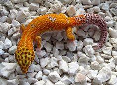 Mandarin Tangerine Bell Leopard Gecko